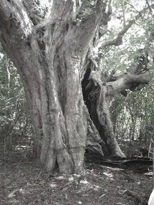 Tamarind tree 1