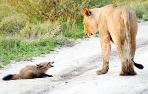 lion-fox